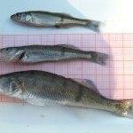 Fuldabefischung 8