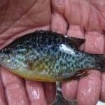 WRRL Befischung 8