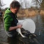 Besatz im Flusslauf mit Bachforellen