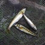 Befischung Twiste 15