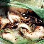 Elektrofischen am 17.06.15 - Junghechte